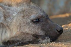 Junge Hyäne, die Rest hat Lizenzfreie Stockfotografie