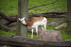 Junge Impala verkratzt auf einem Baum lizenzfreies stockfoto