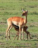 Junge Impalafütterung lizenzfreies stockfoto