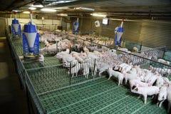 Junge inländische Zuchtferkel, die auf moderner Farm der Tiere wachsen Stockfotos