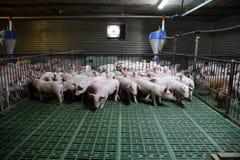 Junge inländische Zuchtferkel, die auf moderner Farm der Tiere wachsen Stockbilder