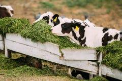 Junge Kälber essen grünes Lebensmittel auf Bauernhof Lizenzfreie Stockbilder