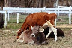Junge Kühe auf einem Bauernhof Lizenzfreies Stockfoto