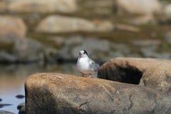 Junge Küstenseeschwalbe, die auf einem Felsen sitzt Lizenzfreies Stockfoto