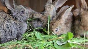 Junge Kaninchen, die herein Gras eines Kaninchenstalls essen stock video footage