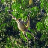 Junge Kapuzineraffe, die auf einem Seil schwingt lizenzfreie stockbilder