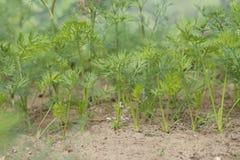 Junge Karottensprösslinge, die auf Boden wachsen stockbilder