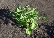Junge Kartoffelpflanze lizenzfreie stockbilder