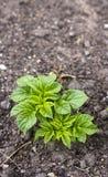 Junge Kartoffelpflanze Lizenzfreies Stockbild