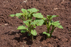 Junge Kartoffelpflanze, die im Gemüsegarten wächst Lizenzfreies Stockfoto