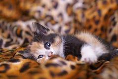 Junge Katze Lizenzfreies Stockfoto
