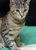 Junge Katze der getigerten Katze Lizenzfreies Stockfoto