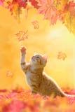 Junge Katze, die im Herbstlaub spielt Stockfotos