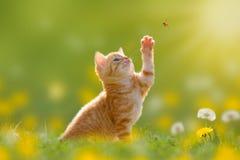 Junge Katze/Kätzchen, das einen Marienkäfer hintergrundbeleuchtet jagt lizenzfreies stockfoto