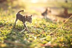Junge Katze mit Marienkäfer/Marienkäfer auf grüner Wiese mit Rücklicht Lizenzfreie Stockfotos