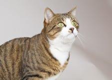 Junge Katze schaut vorwärts Lizenzfreie Stockfotografie