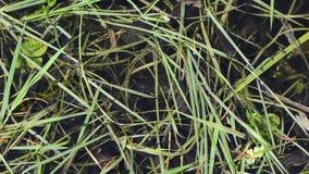 Junge Kaulquappen beweglich zwischen dem Buckel des grünen Grases stock video footage