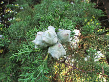 Junge Kegel der Zypresse stockbilder