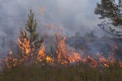 Junge Kiefer in den Flammen des Feuers Stockfotos