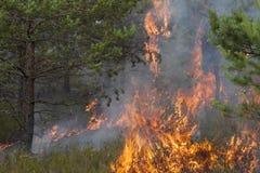 Junge Kiefer in den Flammen des Feuers Stockbilder