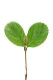 Junge kleine Blätter Stockbild