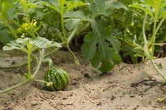 Junge kleine Wassermelone in der Nahaufnahme des schönen Wetters des Gartens in fine lizenzfreies stockbild
