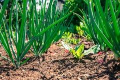 Junge Knoblauch- und Kopfsalatgartennahaufnahme Stockfoto