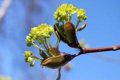 Junge Knospen und Blätter Stockfotografie