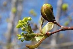 Junge Knospen und Blätter Lizenzfreies Stockfoto