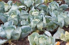 Junge Kohlköpfe Frischer Grünkohl der Nahaufnahme im Gemüsegarten Stockfotografie