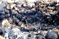Junge Kokosnüsse gebrannt lizenzfreie stockbilder