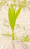 Junge Kokosnuss. Stockbild
