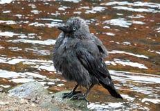 Junge Krähe gehockt auf einem Felsen naß nach dem Baden in einem Fluss stockfoto