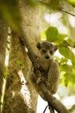 Junge krönten den Maki, Eulemur-coronatus, von einem Baum den Fotografen Ankarana Reserve aufpassend, Madagaskar Stockfotografie