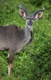 Junge Kudu-Antilope Lizenzfreie Stockfotos