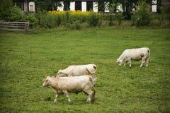 Junge Kuh, die Lebensmittelgras am Ackerland an der Landschaft steht und isst Lizenzfreie Stockbilder