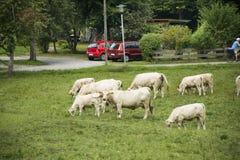Junge Kuh, die Lebensmittelgras am Ackerland an der Landschaft steht und isst Stockfotos