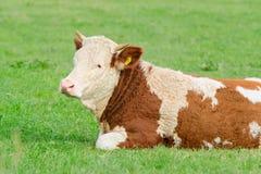 Junge Kuh von Hereford-Zucht liegend auf sonniger alpiner Weide Stockfotografie