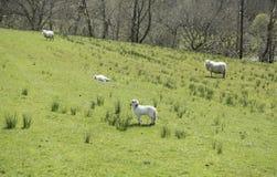 Junge Lämmer auf einem grünen Gebiet Lizenzfreies Stockfoto