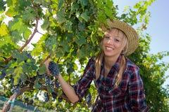 Junge ländliche Frauentraubenernte unter dem vineya Stockbilder