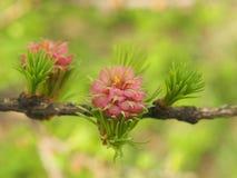 Junge Lärchennadeln und Kiefernkegel im Frühjahr Stockfotografie