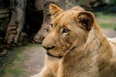 Junge Löwin Lizenzfreies Stockfoto