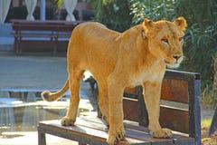 Junge Löwin stockfotos