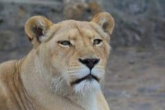 Junge Löwin, die gerade schauen und Beobachten Stockfotos