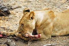 Junge Löwin, die im Selous Vorbehalt isst Lizenzfreies Stockfoto