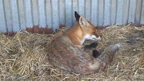 Junge Lügen und Gegähne des roten Fuchses stock video footage