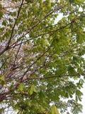 Junge Laubkastanie im Frühjahr in einem Park oder in einem Garten, gegen einen Himmelhintergrund stockfoto