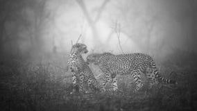 Junge Leoparden, die mit einander spielen Lizenzfreie Stockfotografie