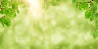 Junge Lindeniederlassung mit den Knospen in der Sonne Frühlingsmorgen? Feld des grünen Grases und des blauen bewölkten Himmels li Stockfotografie