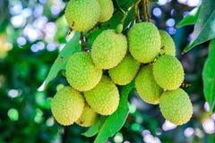 Junge Litschi-Frucht auf dem Baum Stockbilder